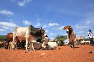 Livestock market in Wajir