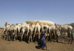 A Kenyan nomadic herder walks near camels drinking water at a point in the northeastern town of El Wak, close to the Somalia and Kenya border, February 6, 2009. REUTERS/Antony Njuguna