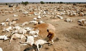 Climate change impact on agriculture : drought in Kenya starves cows to death