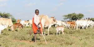 A boy herds cattle. Takaful Insurance says that 4,000 farmers have insured their livestock against drought out of an estimated 92,000. FILE.