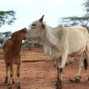 Using radio to builds herders' trust in livestock insurance in Isiolo County