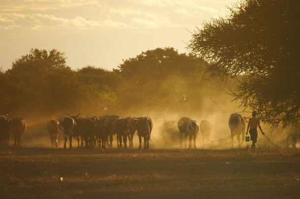 Cattle coming in from the fields in the evening in Lhate Village, Chokwe, Mozambique (photo credit ILRI Stevie Mann).